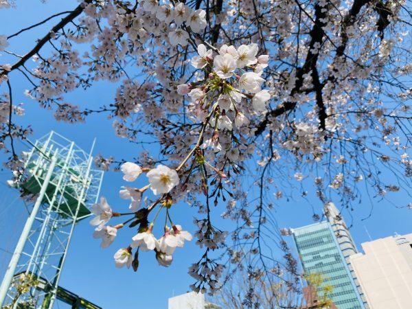 会社周りの桜特集